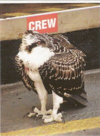 Young, injured osprey on Gabriola Island ferry